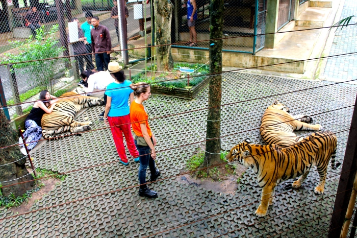 After my own encounter with the tigers, we looked on as others went into the enclosure for a while. This particular tiger reeeeaally really wanted to join in on the fun. To see some pictures of me in the tiger cage, check out a previous post!